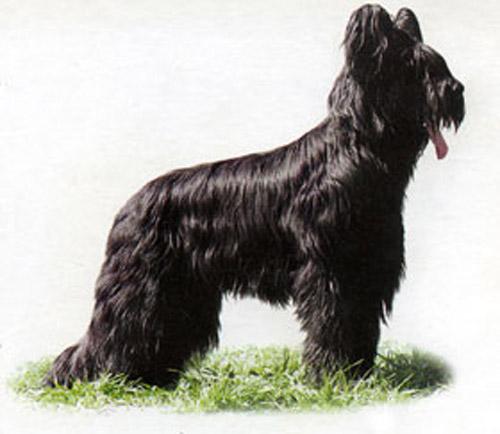 Продам щенка бриара