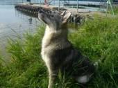 продаю щенков западно сибирской лайки.